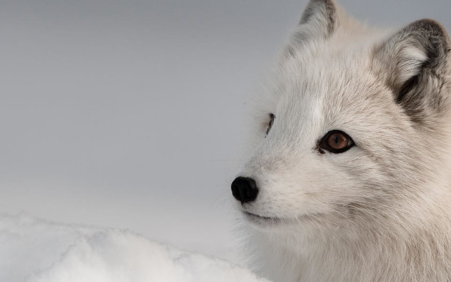 Arctic Fox | Species | WWF
