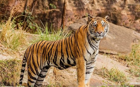 Tigers are my favourite animals