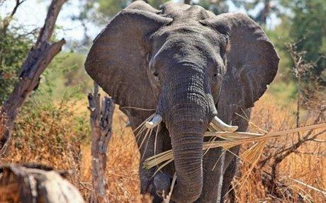 Los elefantes en peligro de extinción » ELEFANTEPEDIA