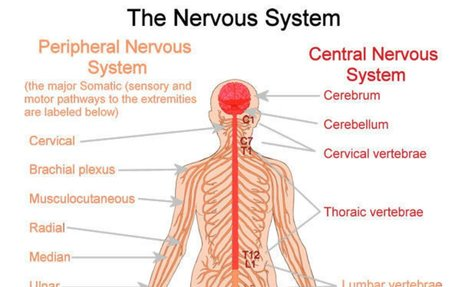 Nervous system Picture