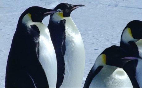 Emperor Penguin Migration