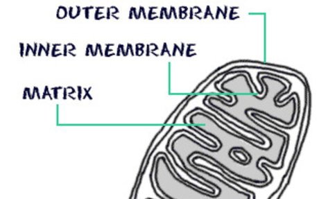Biology4Kids.com: Cell Structure: Mitochondria