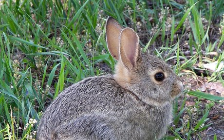 Rabbit - Wikipedia