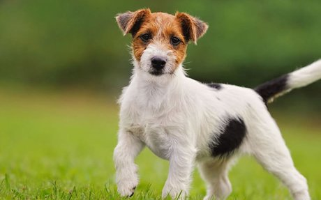 Jack Russell Terrier history