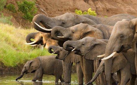 Do Elephants Ever Forget?