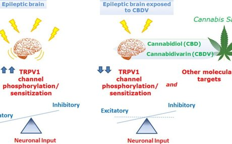 Nonpsychotropic Plant Cannabinoids, Cannabidivarin (CBDV) and Cannabidiol (CBD), Activa...