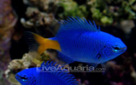 Saltwater Aquarium Fish for Marine Reef Aquariums: Yellowtail Damselfish
