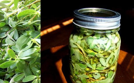 Pickled Purslane Recipe | Friends Drift Inn Farm - Joyce Pinson |