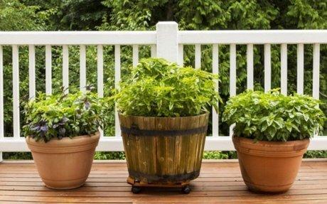 Ez az 5 fűszernövény szívesen dőzsöl dézsában