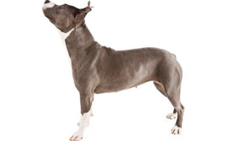 American Pit Bull Terrier Dog Breed Information, Pictures, Characteristics & Facts - Dogti