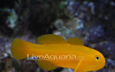 Saltwater Aquarium Fish for Marine Aquariums: Clown Goby, Yellow