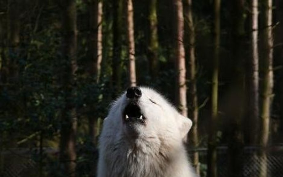Arctic Wolf, Picture 2 of 9