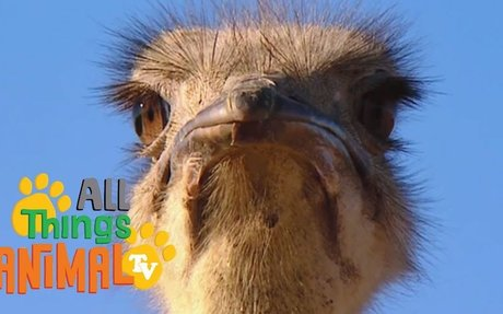 All About Ostriches