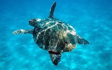 Website:Loggerhead Sea Turtle