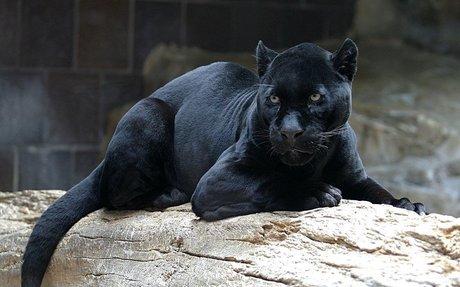Black panther - Wikipedia