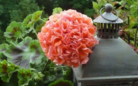 10 kiirthatatlan kerti, illetve balkonnövény