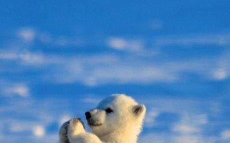 My Favorite Animal Is The Polar Bear