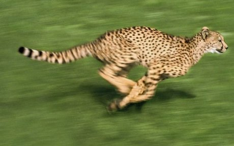 Cheetah acceleration key to success