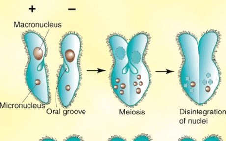 Protists reproduce sexual