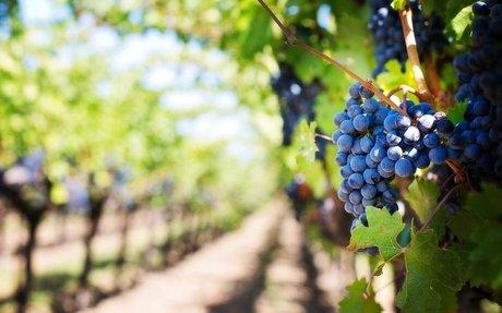 Pálinka készülhet idén a szőlőből?