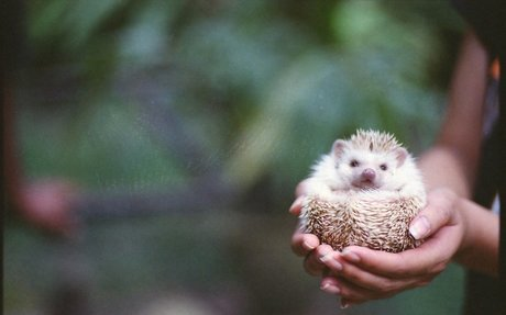 i like hedghogs because they are small and cute