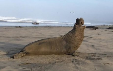 Elephant Seals Recognize Their Rivals' Voices—Hear Their Calls