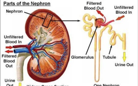 Kidney Function With Blood Test