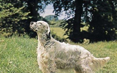 English setter | breed of dog