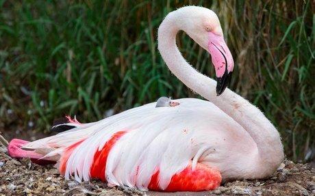 Greater Flamingo | Exotic Birds | Auckland Zoo