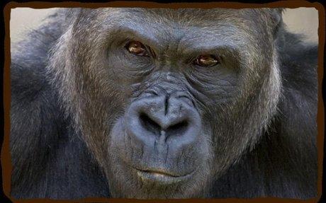 Western Lowland Gorilla | San Diego Zoo - Kids