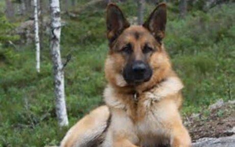 German Shepherd (GSD) Dog Breed Information