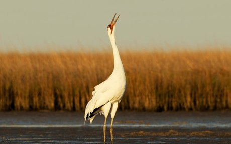 Wise Old Whooping Cranes Teach Young How to Migrate