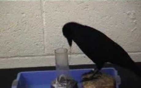 Crow Makes a Tool