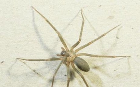 The Deadly Brown Recluse Spider