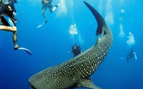 Whale Shark being over fished