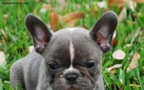 french bulldog - Yahoo Search Results Yahoo Image Search Results