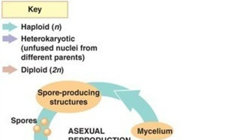 Fungi reproducing Asexual