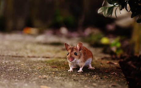 Fully Trained Rat and Mice Exterminator in Elmhurst IL