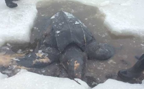 NEWS- Endangered Leatherback turtle found dead on shore in Nova Scotia