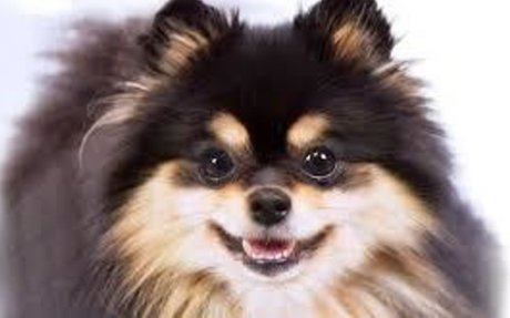 Pomeranian Dog Facts. Care, Training, Pictures, Characteristics and Behaviour – Pomeranian