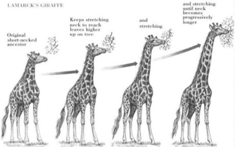 Evolution of giraffes