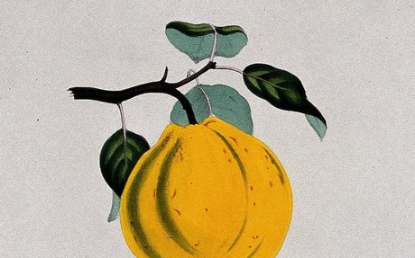 Quince (Cydonia oblonga): fruit, flowers and sectioned fruit. Coloured zincograph, c. 1853