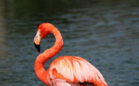 Fun Flamingo Facts for Kids - Interesting Information about Flamingos