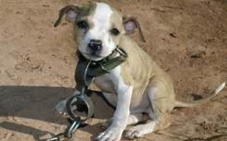 Dogs are forced to be abused in dogfighting!