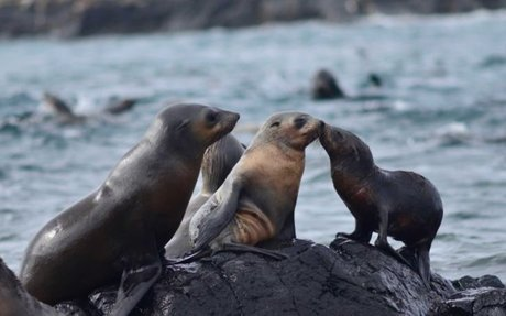 The struggle to rescue seals from ocean pollution at Phillip Island