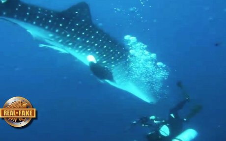Whale shark being fished by hunters