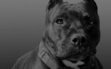 Pit Bull Facts - Villalobos Rescue Center