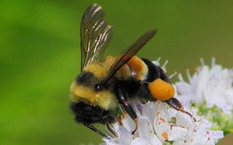 Climate change shrinks bumblebee's range