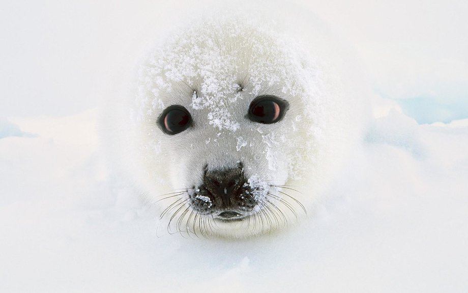 Harp Seal Facts and Pictures -- National Geographic Kids