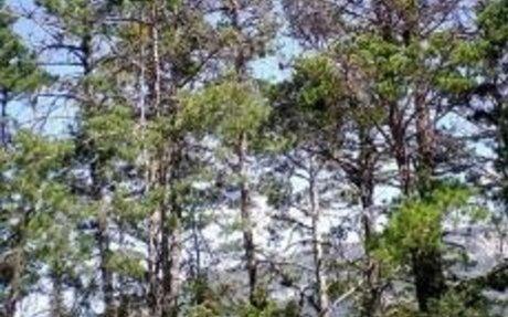 Adapter la gestion du pin sylvestre au changement climatique